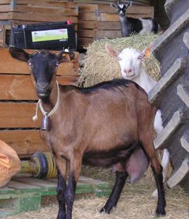 Goats in thehangar
