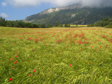 Fields of oats and poppies