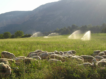Sheep and irrigation