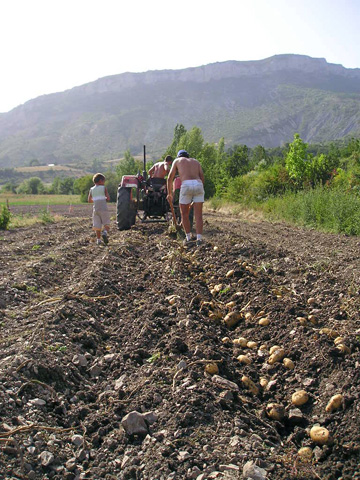Potatoes being turned up by theplough