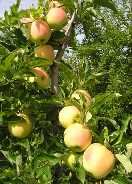 Golden Delicious in the orchard