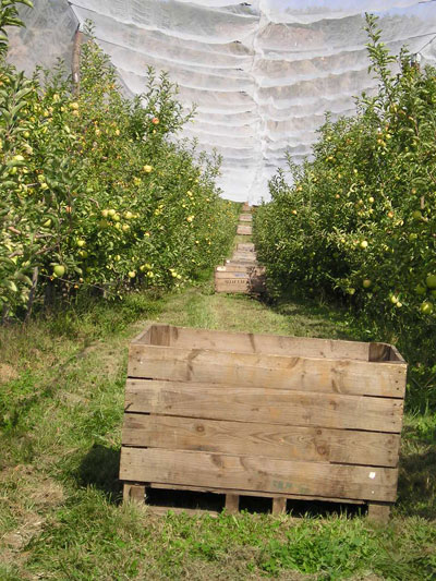 Apple bins and Golden Delicious