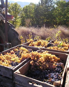 Grape harvest in the Alps