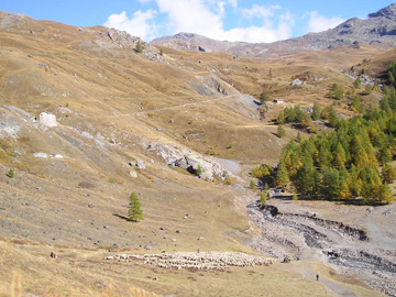 Sheep in the Queyras, Hautes-Alpes