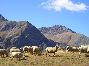 Sheep in Alpine pastures