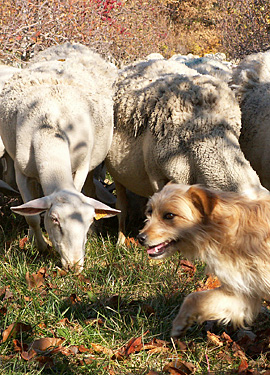 Flossy, the sheep dog with our Préalpes sheep