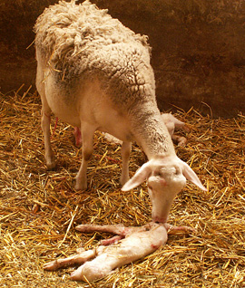 Sheep and newborn lamb