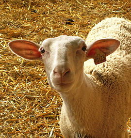 A curious Préalpes sheep