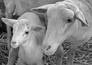 Préalpes Sheep andlamb