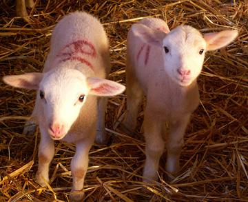 Lambs(Préalpes)