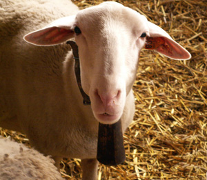 La Sonnaille, the sheep barn mascot