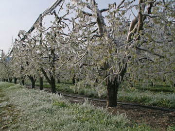 Frost protection for golden delicioius apple trees