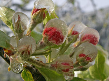 Ice covered Golden Delicious apple flowers