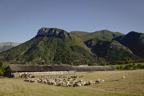 Prealpes sheep